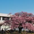寒桜・1-2