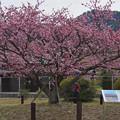 寒桜・1-3