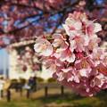 寒桜・2-1