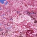 寒桜・2-2
