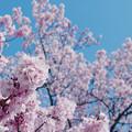 寒桜・2-3