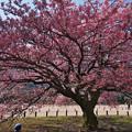 寒桜・3-2