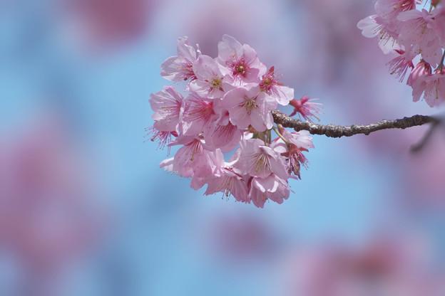 寒桜・4-2
