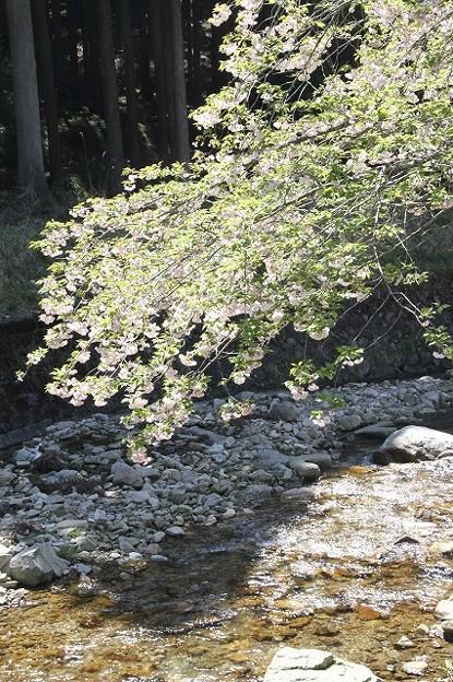 播州トンネル前の桜(1)