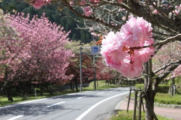 播州トンネル前の桜(4)