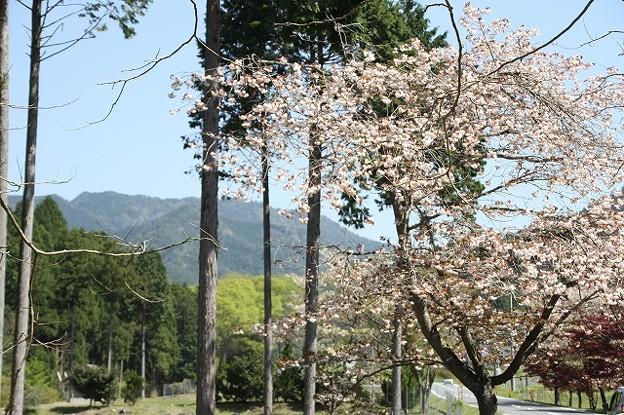 播州トンネル前の桜(5)