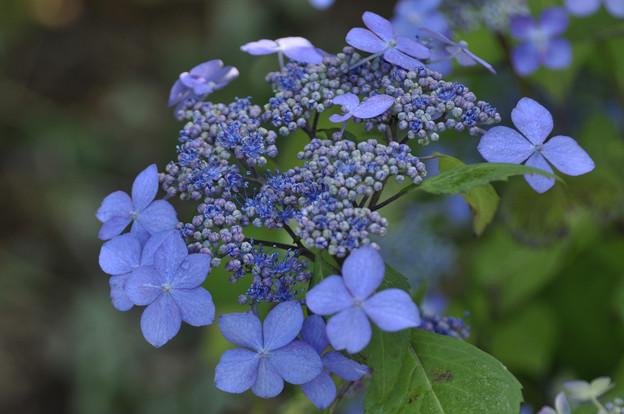 Photos: 5月21日、萼紫陽花の花と萼(1)