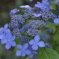 5月21日、萼紫陽花の花と萼(1)