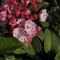Photos: 5月21日、カルミラの花と蕾(1)