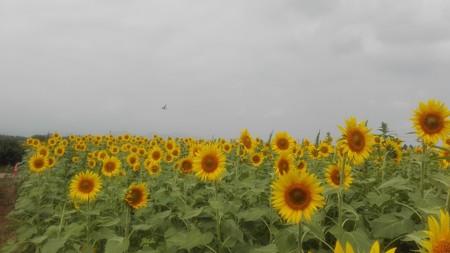 ひまわり畑と羽ばたき遊ぶ雀