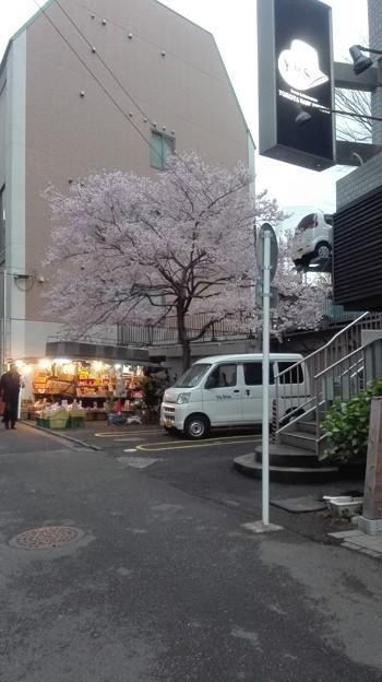 なつかしい桜