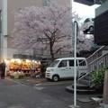 写真: なつかしい桜