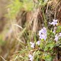 Photos: 崖の上の儚い花