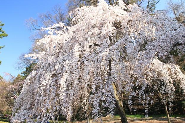近衛の糸桜