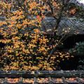 写真: 冬紅葉