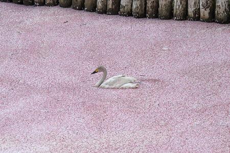 セレブ白鳥