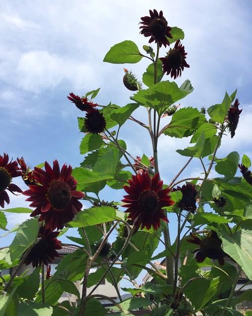 赤いヒマワリ(黒いひまわり)