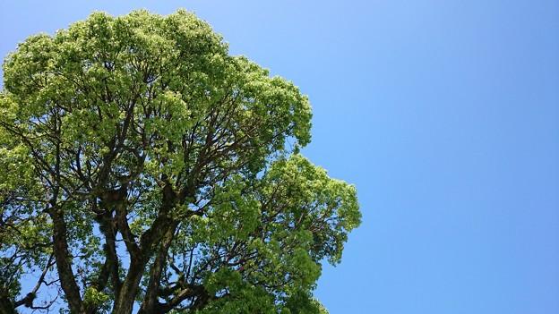 青空に映える新緑樹