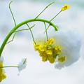 今日見た菜の花
