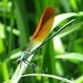 赤い羽根を持つカワトンボ2
