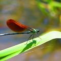 Photos: 赤い羽根を持つカワトンボ3