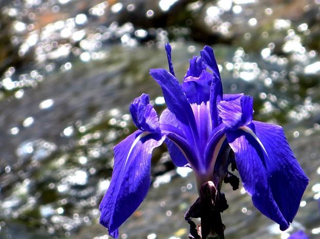 Photos: 水辺で見かけた花