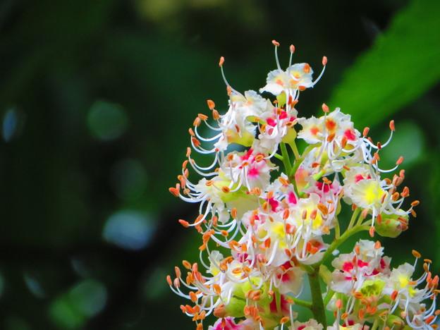 Photos: とちの木の花