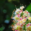 とちの木の花