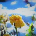 寒い朝 黄