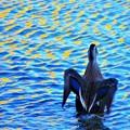 写真: 鴨 イメージ