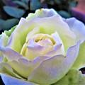 写真: 彩度 薔薇