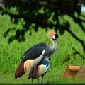 Photos: 袖ヶ浦公園に迷い込んだ変な鳥 (1)