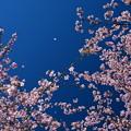 写真: 早咲きの桜