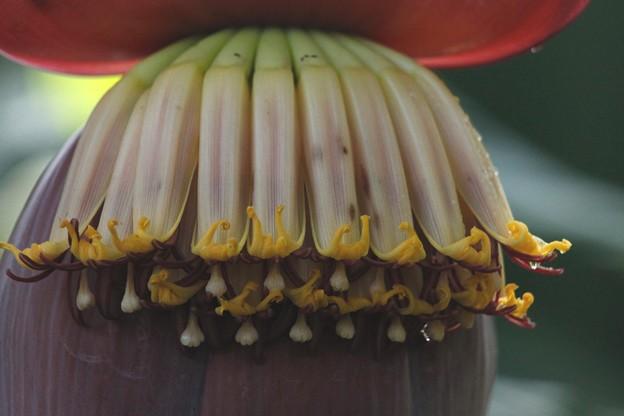 バナナ【甘蕉:芭蕉実】の花-D