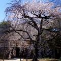 枝垂れ桜咲く