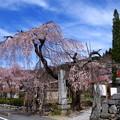 与楽の地蔵桜