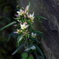 センブリの花