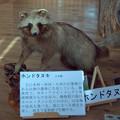 写真: ホンドタヌキ