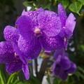 写真: 温室の蘭