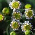 イソギク~~小さな花