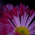 フウシャ菊