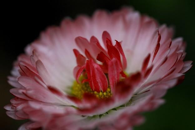 写真: 麦藁菊