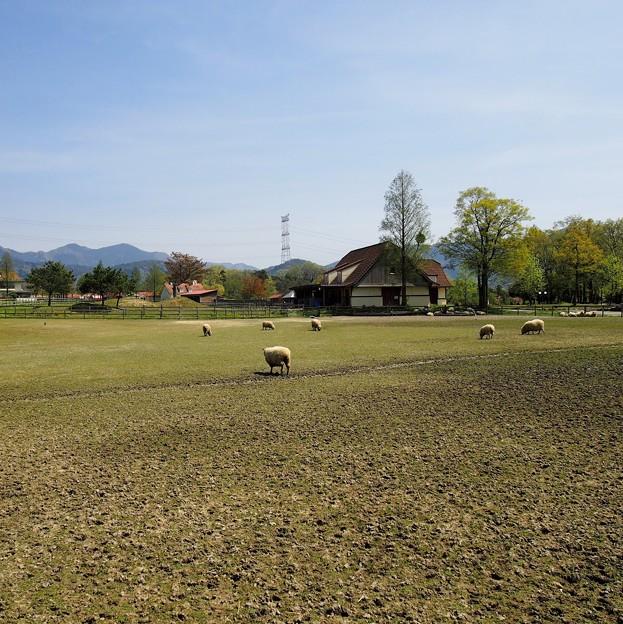 写真: 羊の丘