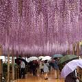 Photos: 雨に濡れても