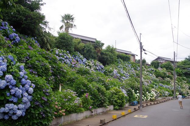 流山あじさい通り (6)