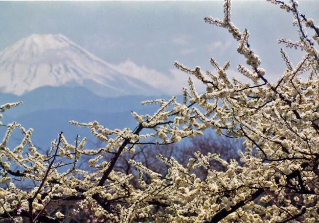 富士と梨の花