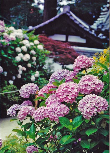 浄瑠璃寺の紫陽花