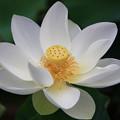 写真: 白い蓮