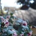 写真: 沈丁花と茅葺き屋根