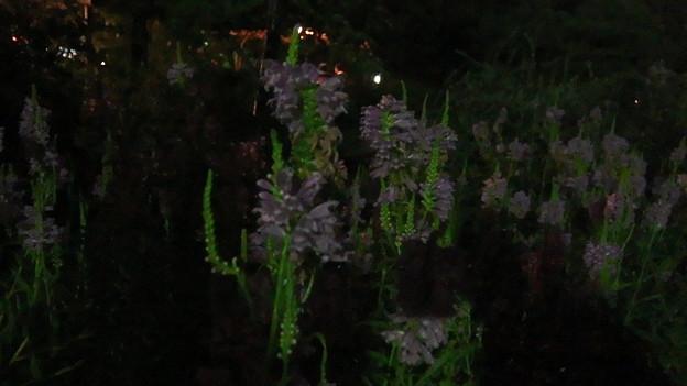 夜の花虎の尾